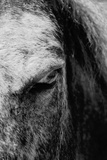 Glare of a Horse in Black and White
