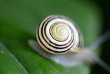 Snail Shell Dark Brown Stripes