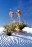 Yuccas & White Sand I