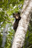 Bear Cub in Tree III