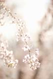 Soft Blooms III
