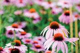 Cone Flower III