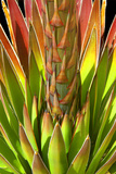 Colorful Agave I