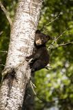 Bear Cub in Tree IV