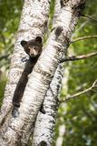 Bear Cub in Tree II