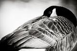 Canadian Goose I