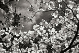 Spring Dogwood I