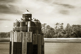Pamlico Gulls I