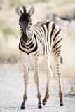 Zebra Colt II