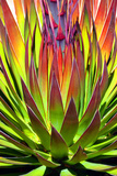 Colorful Agave II
