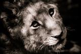 Lion Cub I