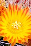 Cactus Flower V