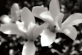 Saucer Magnolia I