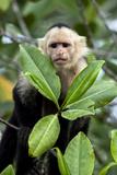 Capuchin Monkey I
