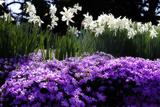 Spring Daffodils II
