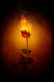 Rose in Flames