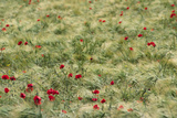 Meadow with Poppies 1