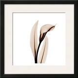 Single Calla Lily in Sienna