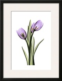 Purple Tulips II