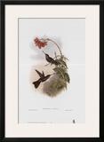Coeligena Typica  Hummingbirds