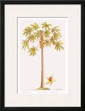 Papaya Tree  Botanical Illustration  18th Century