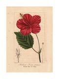 Chinese Hibiscus  Hibiscus Rosa Sinensis