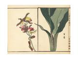 Kakuran or Greater Swamp Orchid  Phaius Tankervilleae Endangered