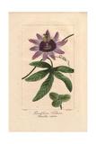 Perfume Passionflower  Passiflora Violacea