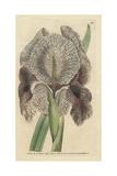 Chalcedonian Iris or Mourning Iris  Iris Susiana