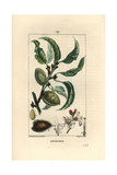 Almond Tree  Prunus Amygdalus