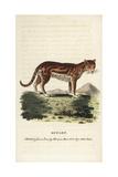 Ocelot or Dwarf Leopard  Leopardus Pardalis