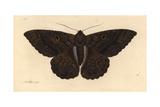 Black Witch Moth  Ascalapha Odorata
