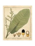 Marking Nut  Semecarpus Anacardium