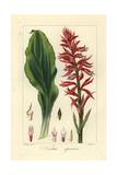Latin American Lady Orchid  Stenorrhynchos Speciosus