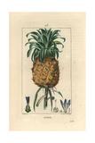 Pineapple Fruit  Ananas Comosus
