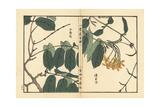Shikunshi  Chinese Honeysuckle  Combretum Indicum
