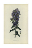 Rough Bellflower  Campanula Peregrina