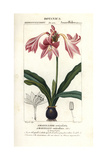 Pink Amaryllis  Hippeastrum Reticulatum