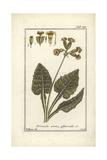 Cowslip  Primula Veris Officinalis