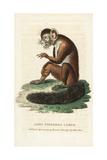 Aye-Aye  Daubentonia Madagascariensis
