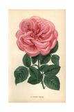 Eugenie Verdier Rose  Pink Hybrid