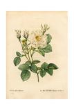 Leafy White Rose of Fleury  Rosa Alba Variety