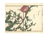 Thistle  Cirsium Japonicum  and Speedwell  Veronica Magna