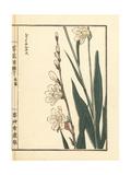 Rerii Narukisu or Daffodil Variety  Narcissus Species