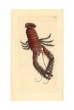 Squat Lobster  Galathea Strigosa