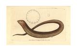 European Legless Lizard  Pseudopus Apodus