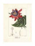 Winged-Stem Passion Flower  Passiflora Alata
