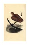 Common Cuckoo (Juvenile)  Cuculus Canorus