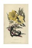 Missouri Evening Primrose  Oenothera Missourensis