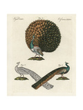 Indian or Blue Peafowl  Pavo Cristatus